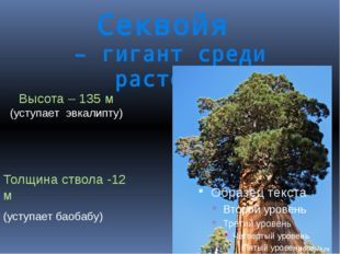 Секвойя – гигант среди растений Высота – 135 м (уступает эвкалипту) Толщина с