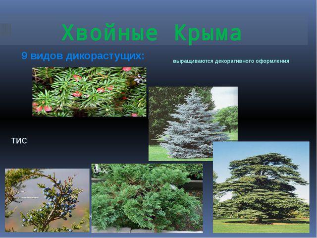 Хвойные Крыма 9 видов дикорастущих: выращиваются декоративного оформления тис...