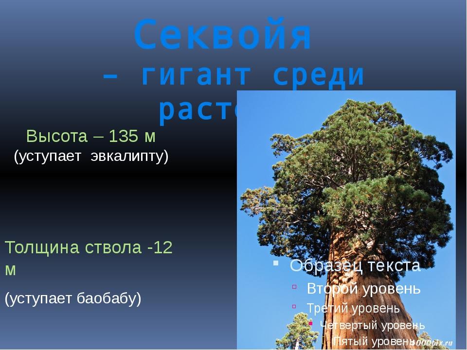 Секвойя – гигант среди растений Высота – 135 м (уступает эвкалипту) Толщина с...