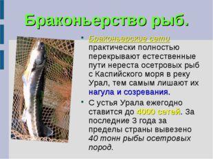 Браконьерство рыб. Браконьерские сети практически полностью перекрывают естес