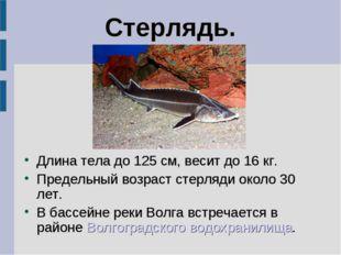 Стерлядь. Длина тела до 125 см, весит до 16 кг. Предельный возраст стерляди о