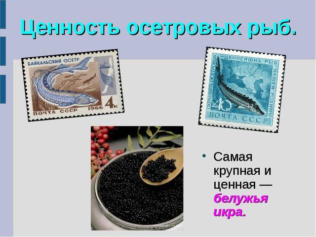 Ценность осетровых рыб. Самая крупная и ценная— белужья икра.