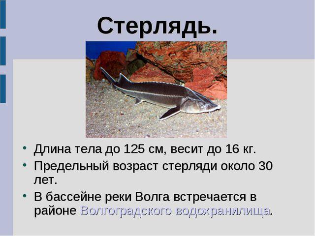 Стерлядь. Длина тела до 125 см, весит до 16 кг. Предельный возраст стерляди о...