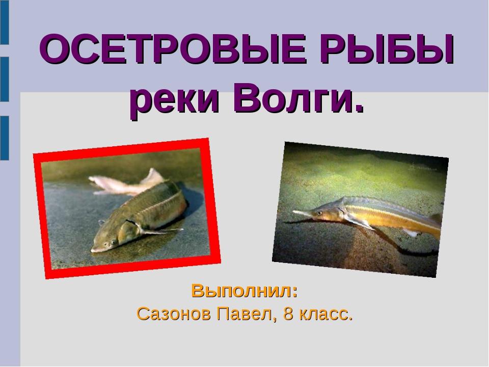 ОСЕТРОВЫЕ РЫБЫ реки Волги. Выполнил: Сазонов Павел, 8 класс.