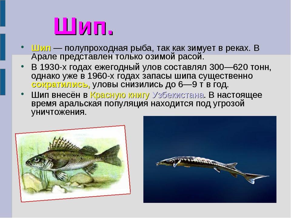 Шип. Шип— полупроходная рыба, так как зимует в реках. В Арале представлен то...