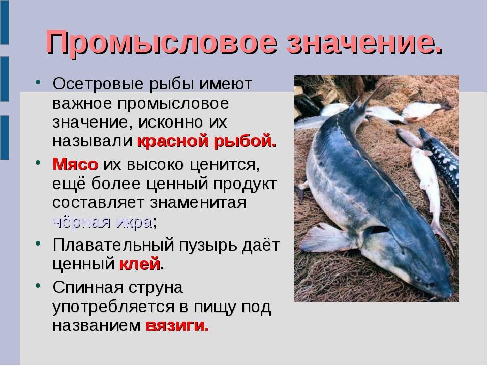 Промысловое значение. Осетровые рыбы имеют важное промысловое значение, искон...