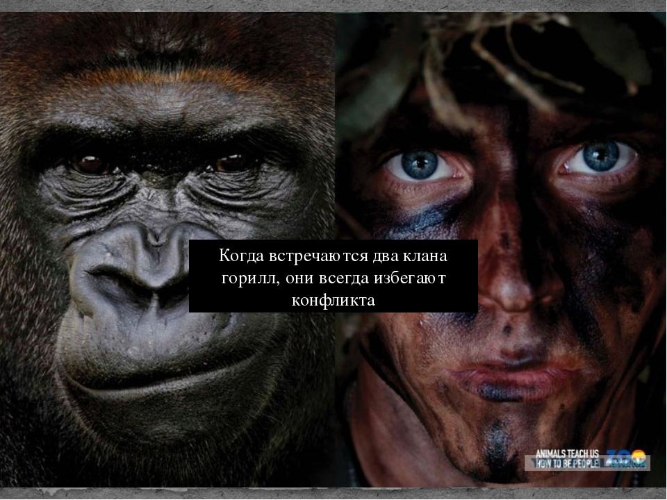 Когда встречаются два клана горилл, они всегда избегают конфликта