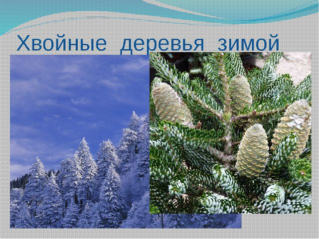Хвойные деревья зимой