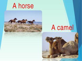 A horse A camel