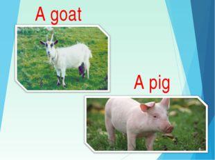 A goat A pig