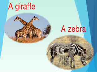 A giraffe A zebra