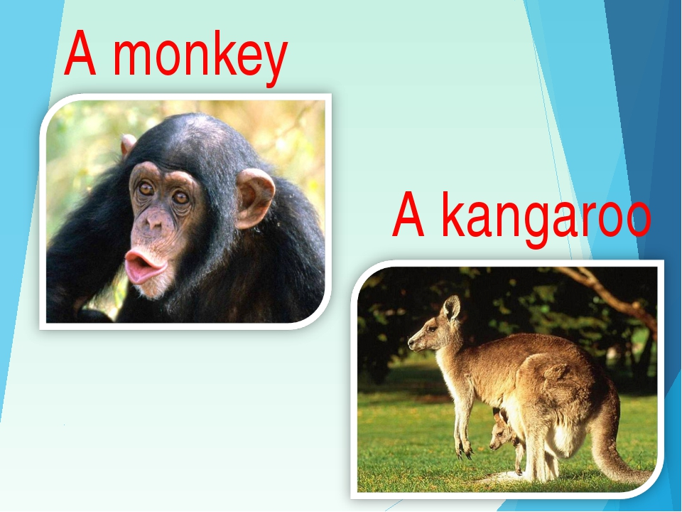 A monkey A kangaroo