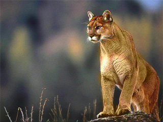 http://media.katu.com/images/080407_Mountain_Lion.jpg