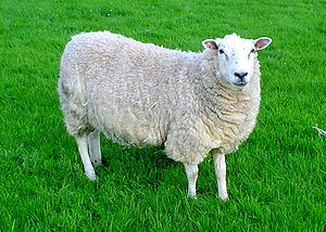 http://upload.wikimedia.org/wikipedia/commons/thumb/c/c4/Lleyn_sheep.jpg/300px-Lleyn_sheep.jpg