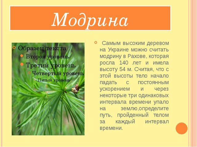 Модрина Самым высоким деревом на Украине можно считать модрину в Рахове, кот...