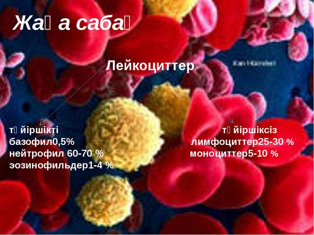 Лейкоциттер түйіршікті түйіршіксіз базофил0,5% лимфоциттер25-30 % нейтрофил...