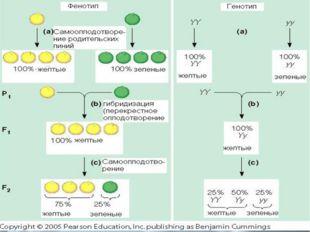 Гибри́д(помесь)—организмиликлетка, полученные вследствие скрещивания ген