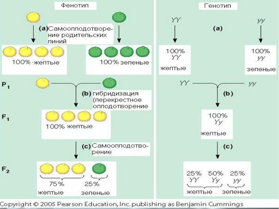 Гибри́д(помесь)—организмиликлетка, полученные вследствие скрещивания ген...