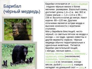 Барибал (чёрный медведь) Барибал отличается отбурого медведягладким чёрным
