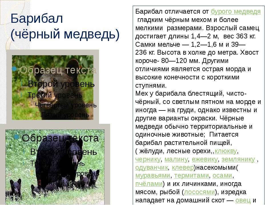 Барибал (чёрный медведь) Барибал отличается отбурого медведягладким чёрным...