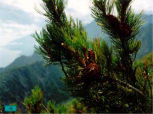 Более широко известная под названием кедра сибирского или сосны кедровой. Со