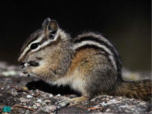 Длина тела его 14—15 см, длина пушистого хвоста 9—10 см. На спине и боках ха