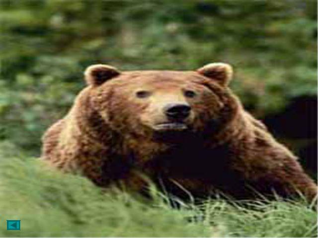 Встречаются медведи массой до 750 кг, при длине тела 2,5 м; встав на дыбы, т...