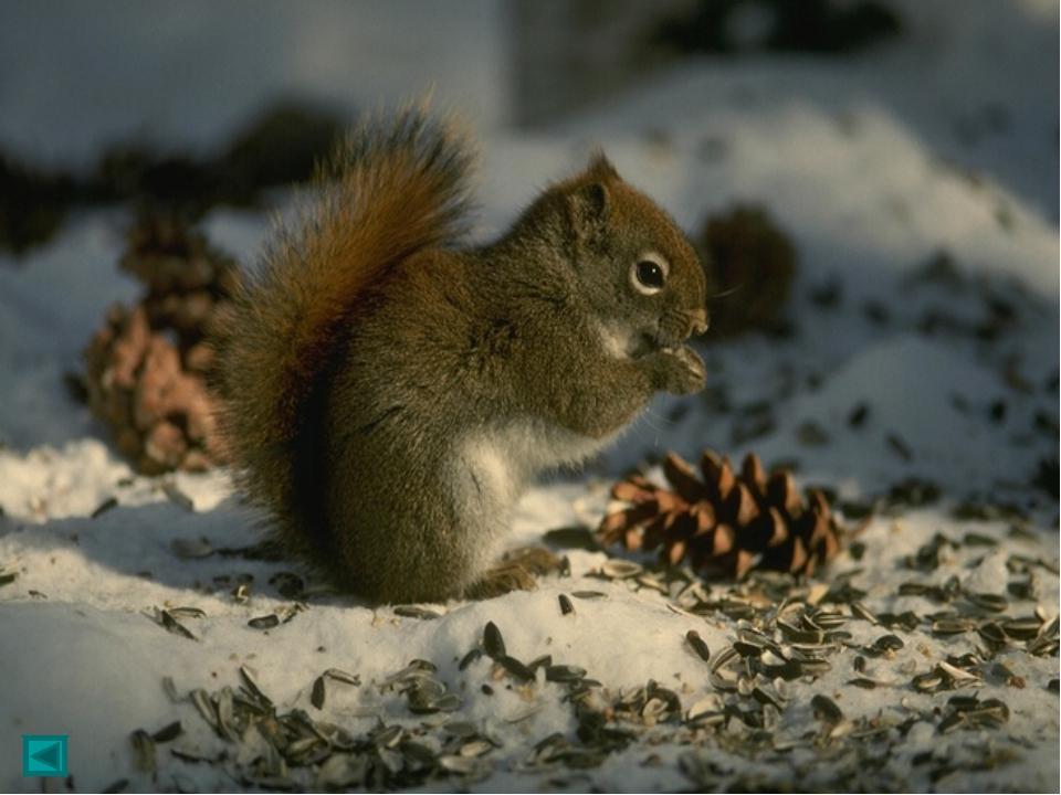 Длина тела белок бывает 20—32 см, длина хвоста 19—31 см. Масса от 180 до 100...