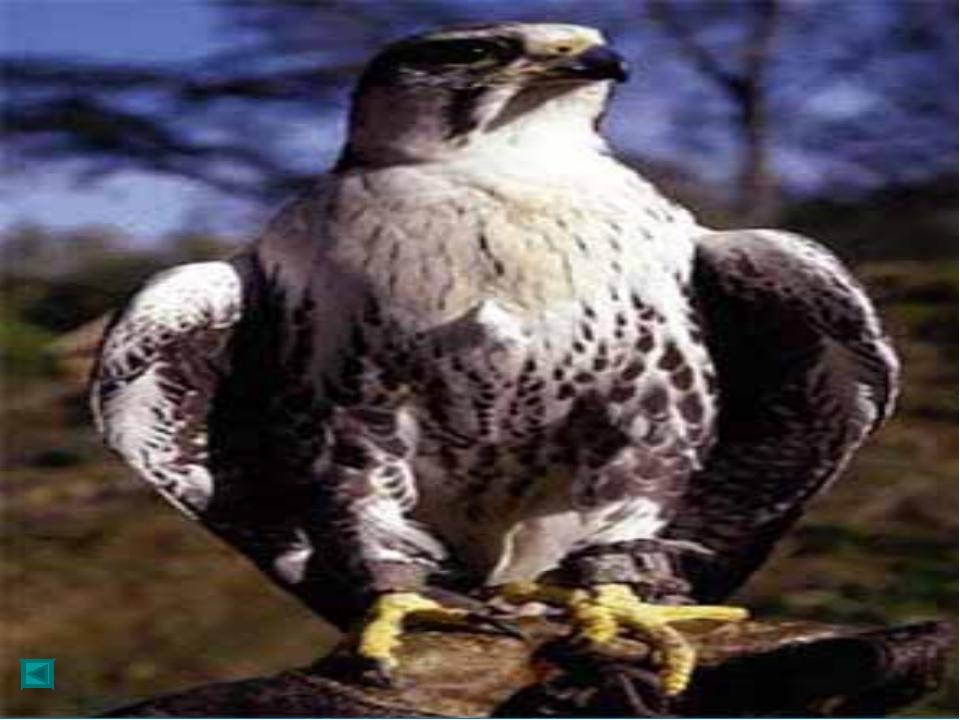 Общая длина 55-60 см, размах крыльев 110-135 см, длина крыла 34-42 см, вес 1...