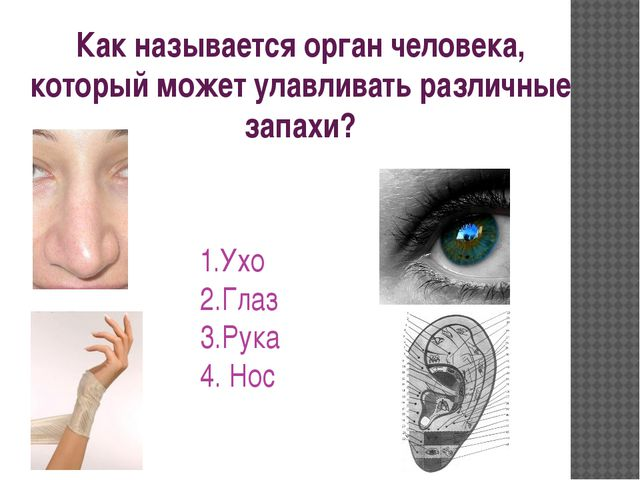 Как называется орган человека, который может улавливать различные запахи? 1.У...