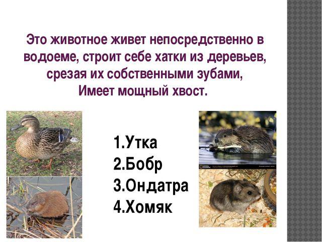 Это животное живет непосредственно в водоеме, строит себе хатки из деревьев,...