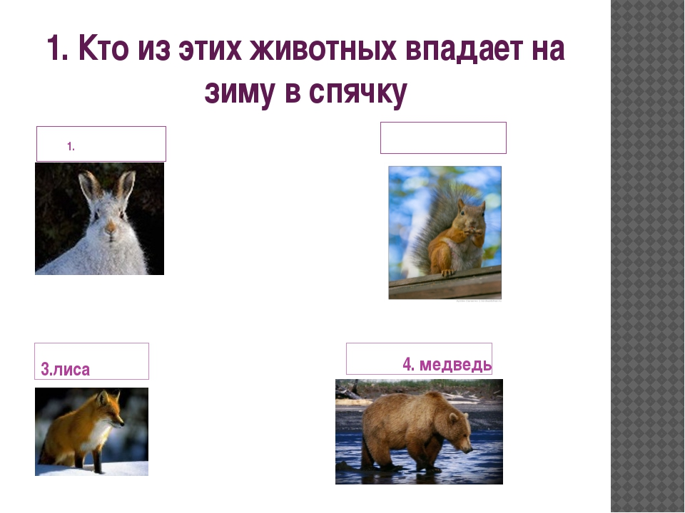 1. Кто из этих животных впадает на зиму в спячку заяц 2.белка 3.лиса 4. медведь