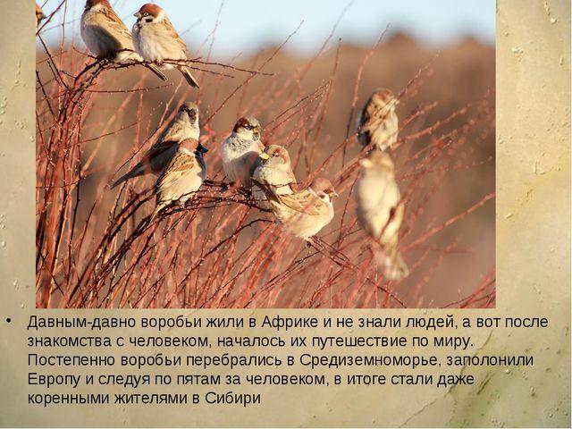 Давным-давно воробьи жили в Африке и не знали людей, а вот после знакомства с...