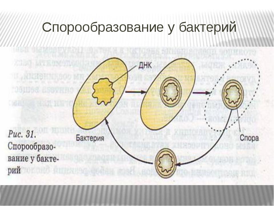 Спорообразование у бактерий