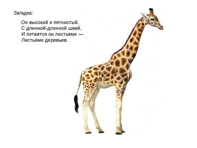Загадка: Он высокий и пятнистый, С длинной-длинной шеей, И питается он листья...