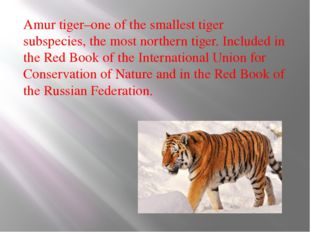 Amur tiger–one of the smallest tiger subspecies, the most northern tiger. Inc