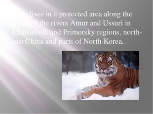 Tiger lives in a protected area along the banks of the rivers Amur and Ussuri