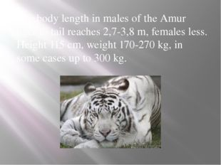 The body length in males of the Amur tiger to tail reaches 2,7-3,8 m, females