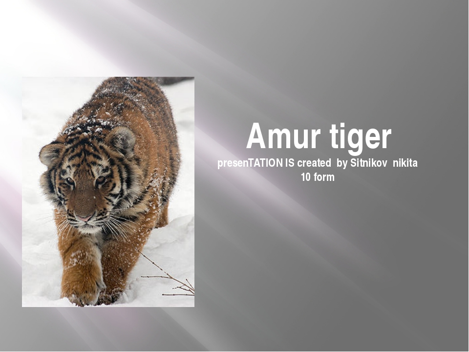 Amur tiger presenTATION IS created by Sitnikov nikita 10 form