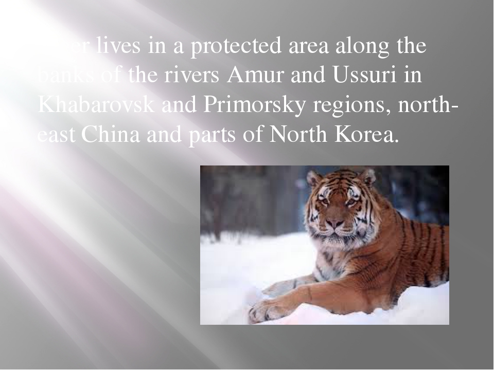 Tiger lives in a protected area along the banks of the rivers Amur and Ussuri...
