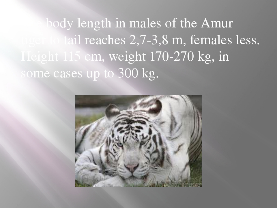 The body length in males of the Amur tiger to tail reaches 2,7-3,8 m, females...