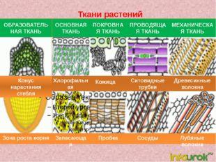 Ткани растений ОБРАЗОВАТЕЛЬНАЯ ТКАНЬ ОСНОВНАЯ ТКАНЬ ПОКРОВНАЯ ТКАНЬ ПРОВОДЯЩ