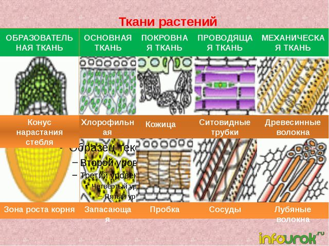 Ткани растений ОБРАЗОВАТЕЛЬНАЯ ТКАНЬ ОСНОВНАЯ ТКАНЬ ПОКРОВНАЯ ТКАНЬ ПРОВОДЯЩ...