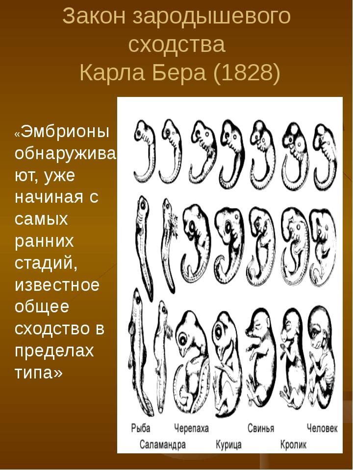 Закон зародышевого сходства Карла Бера (1828) «Эмбрионы обнаруживают, уже нач...