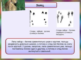 Следы зайца – беляка сидящего (слева) и бегущего. Следы зайцев: русака (слева