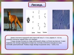 Длина отпечатка передней лапы взрослой лисы 5—6 см, ширина 4—4,6 см, размеры