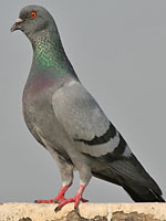 C:\Documents and Settings\Admin\Рабочий стол\rock_pigeon_wikipedia.jpg