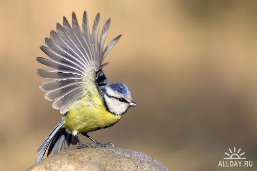 C:\Documents and Settings\Admin\Рабочий стол\1250353053_parus_caeruleus_by_papkin11.jpg