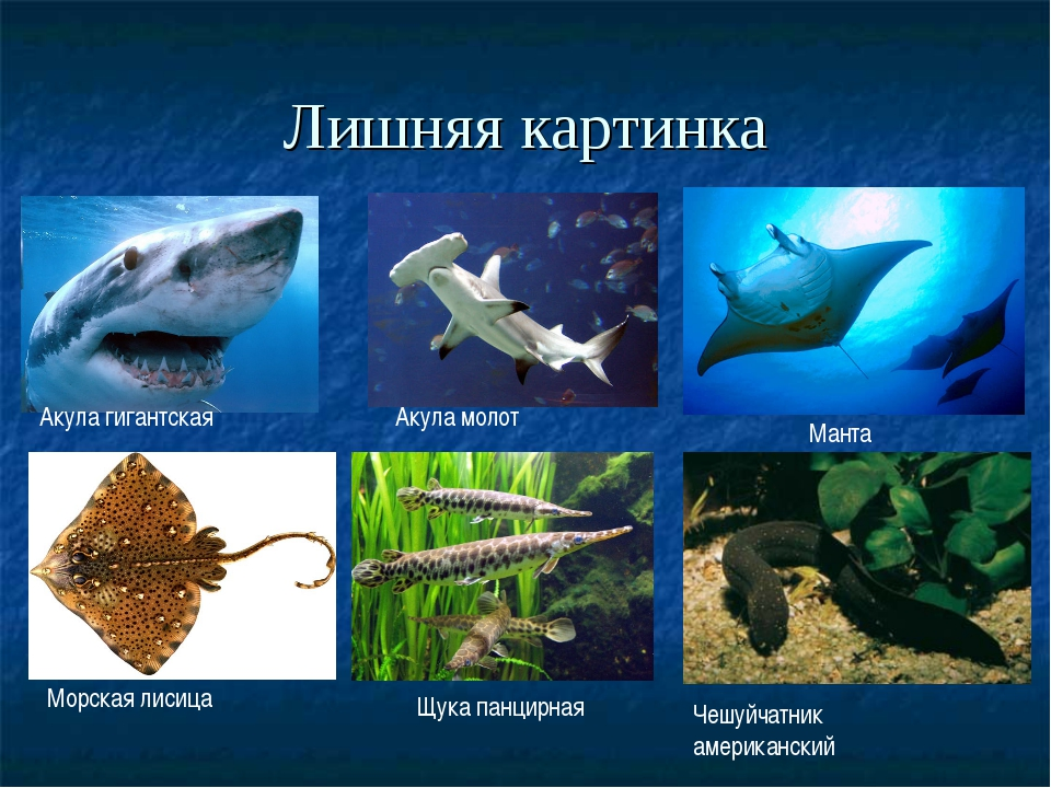 Лишняя картинка Акула гигантская Акула молот Манта Морская лисица Щука панцир...