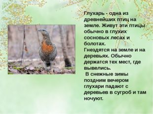 Глухарь - одна из древнейших птиц на земле. Живут эти птицы обычно в глухих с